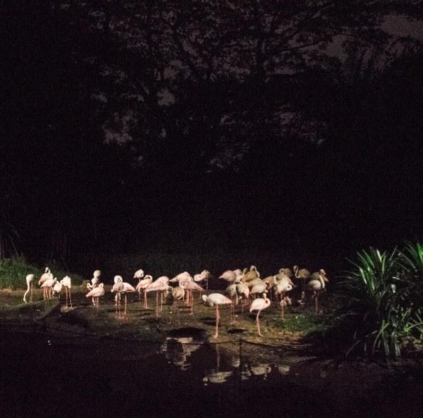 Flamingos at Night safari