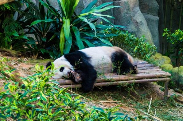 Panda leading the good life
